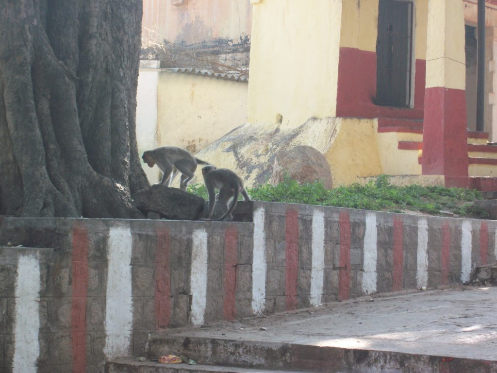 Monkeys at Chimundi Hill, Mysuru India